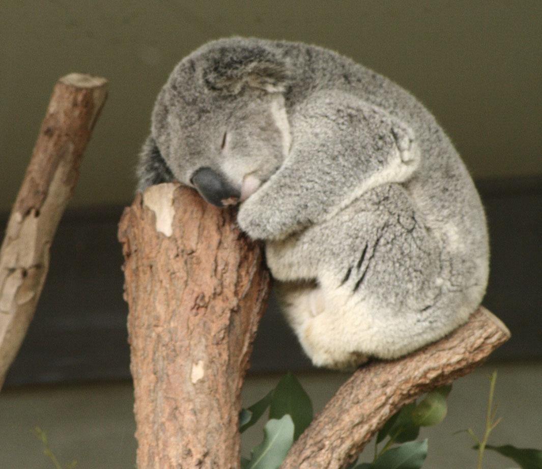 Les macs de la mignonnitude du règne animal Koala